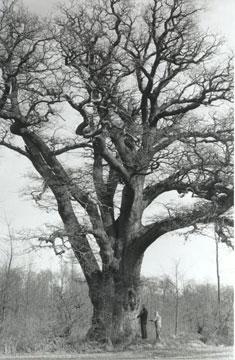 danmarks ældste træ